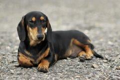 Черный dachshund стоковое фото rf