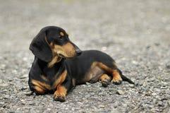 Черный dachshund Стоковое Фото
