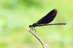 черный dragonfly Стоковое Фото