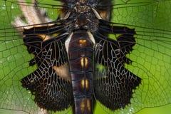 Черный Dragonfly Saddlebags Стоковые Фотографии RF