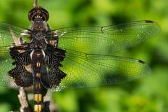 Черный Dragonfly Saddlebags Стоковое Изображение RF