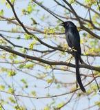 черный drongo Стоковое Изображение