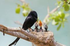 черный drongo Стоковые Изображения