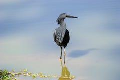 Черный Egret работая shallows Стоковое фото RF