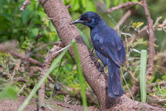 черный flycatcher северный Стоковые Фото