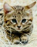 Черный Footed котенок младенца Стоковое Фото