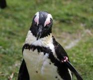 черный footed пингвин 2 стоковая фотография