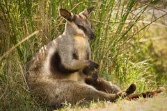 черный footed wallaby утеса Стоковые Фото