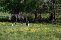 Черный gelding пасти в выгоне лютика стоковое фото