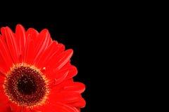 черный gerbera детали Стоковая Фотография