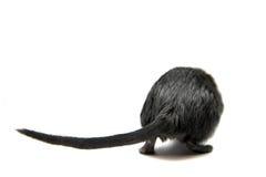 Черный gerbil стоковые фото