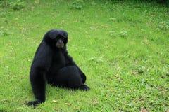 Черный gibbon Siamang Стоковое Изображение RF
