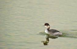 черный grebe necked Стоковое Изображение