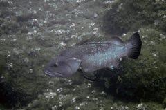 черный grouper Стоковые Фото