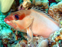 черный grouper Стоковое фото RF