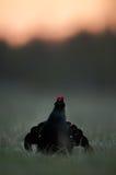 Черный Grouse или Blackgame (tetrix Tetrao). Стоковое Изображение RF