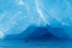 Черный Guillemot, grylle Cepphus, птица в открытом море, синий лед на заднем плане, животное в ледовитой среде обитания природы,  Стоковые Изображения RF