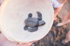 Черный hatchling черепахи стоковое изображение