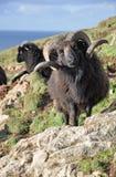 Черный Hebridean Ram Стоковые Изображения RF