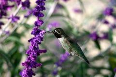 черный hummingbird throated Стоковое Фото