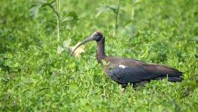 Черный Ibis Стоковые Изображения RF