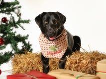 Черный labrador в установке рождества стоковое фото rf
