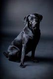 черный labrador Стоковое Изображение