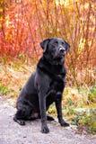 черный labrador Стоковое фото RF