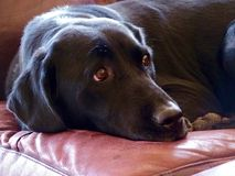 черный labrador Стоковая Фотография RF