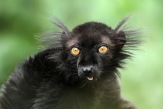 черный lemur Стоковая Фотография