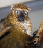 Черный lemur 3 Стоковые Фото