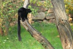 черный lemur Стоковые Фотографии RF