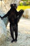 черный lemur Стоковое Фото