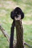 черный lemur ruffed Стоковое Изображение RF