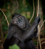черный macaque sulawesi Индонесии Стоковое Изображение