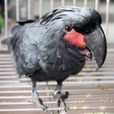 черный macaw стоковое изображение