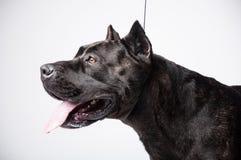 Черный mastiff изолированный на белизне стоковое фото