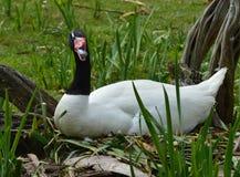 черный necked лебедь Стоковое Изображение RF