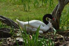 черный necked лебедь Стоковые Фото