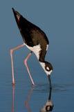 черный necked ходулочник Стоковая Фотография