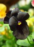 черный pansy стоковое фото