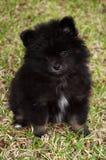 черный pomeranian щенок Стоковые Изображения