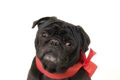 черный pug Стоковое Изображение