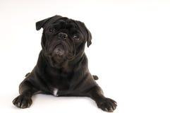 черный pug Стоковые Фото