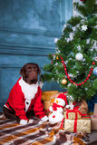 Черный retriever labrador сидя с подарками на предпосылке украшений рождества Стоковые Фото