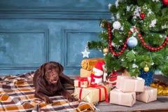 Черный retriever labrador сидя с подарками на предпосылке украшений рождества Стоковое Изображение