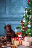 Черный retriever labrador сидя с подарками на предпосылке украшений рождества Стоковые Фотографии RF