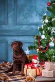 Черный retriever labrador сидя с подарками на предпосылке украшений рождества Стоковые Изображения