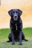 Черный retriever labrador стоковые изображения rf
