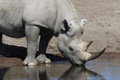 черный rhinoceros Намибии Стоковое Изображение
